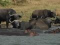 Bufali e Ippopotami