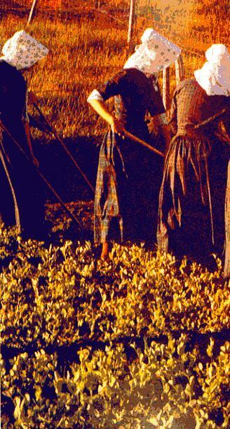 Le donne con i loro costumi e le allegre cuffie nei campi.