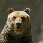 L'orso bruno, un'altra… etnia da difendere.