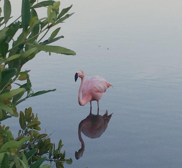 galapagos isole - fenicottero-El Junco